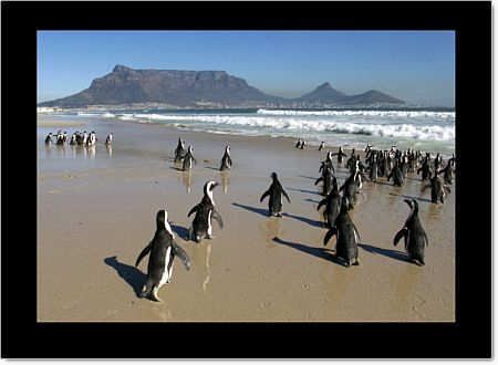 Formerly oiled penguins taste freedom as they are returned to the sea near Cape Town, July 28 2000