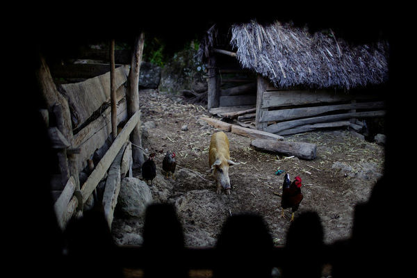 Animals roam in the backyard of a house at a farm in Santo Domingo, Cuba