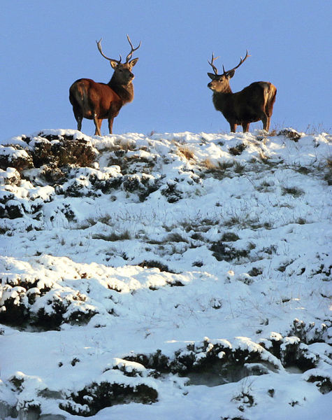 Two deer look down from the top of a snow-covered hilltop near Braemar in the Scottish