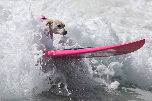 A dog rides a wave during the Surf City Surf Dog competition in Huntington Beach, California, U.S., September 25, 2016. REUTERS/Lucy Nicholson - S1BEUDKRRTAB