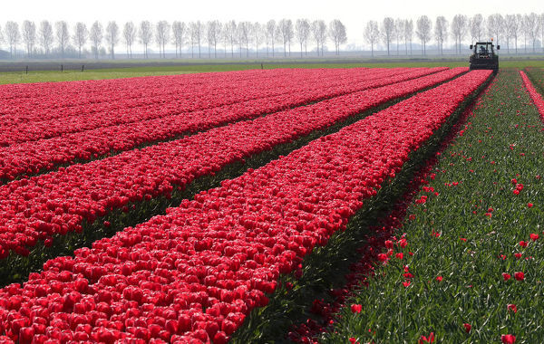 A farmer cuts tulips on a field near the city of Creil, Netherlands April 19, 2019. REUTERS/Yves Herman - RC16986C0340