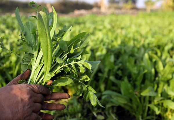 A farmer holds vegetables in a field in the town of El Mansoura