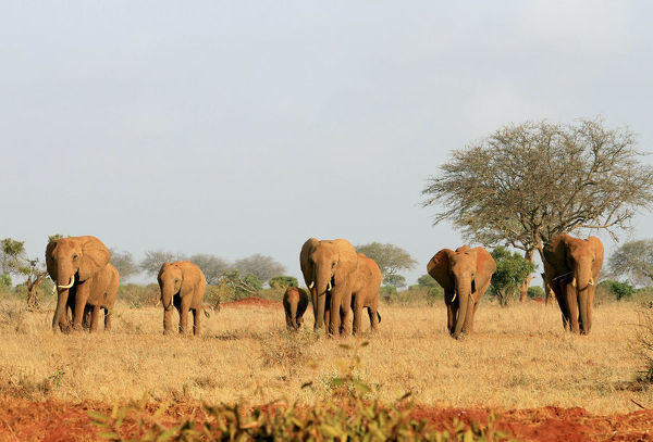 A herd of elephants walk in the Tsavo East National Park