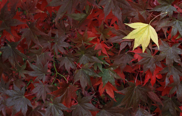 Leaves from a Japanese Maple are seen as they change colour in Autumn at The National Arboretum in Westonbirt, western England October 22, 2010. REUTERS/Eddie Keogh (BRITAIN - Tags: ENVIRONMENT SOCIETY) FOR BEST QUALITY IMAGE SEE