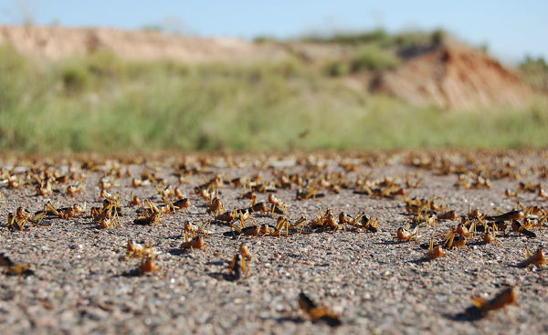 Locusts are seen on the main road in the Menabe region of western Madagascar