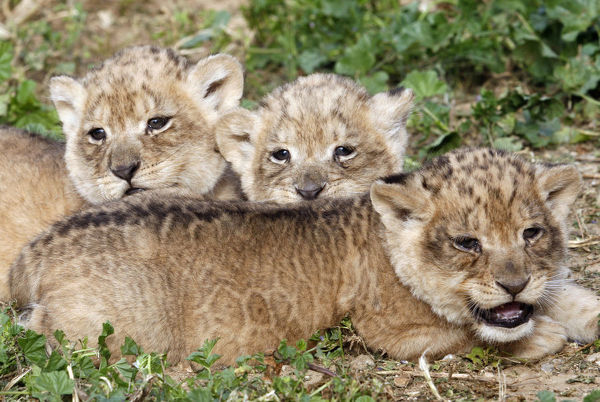 One-month-old lion cubs lie together at the Ramat Gan Safari