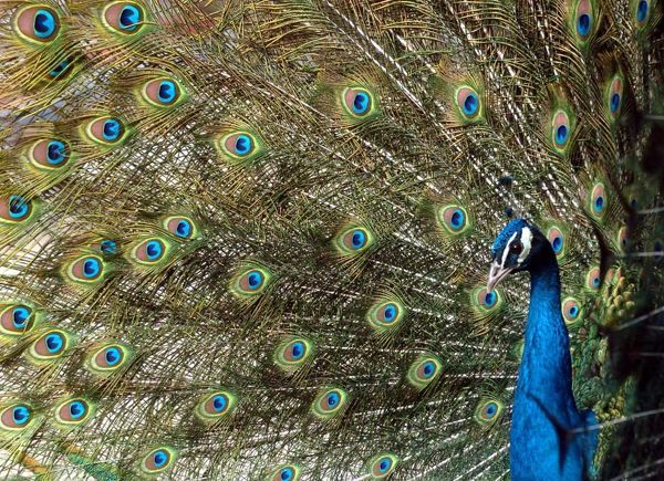 A peacock spreads its back feathers at a closed aviary in Tianjin, 120 km (72 miles) southeast of Beijing, February 12, 2004