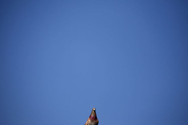 A pigeon sits on a roof top in front of an unusually clear sky in central London