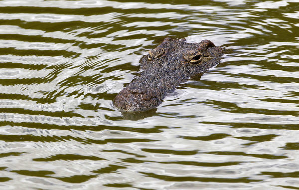 A recaptured crocodile swims in a pen after about 15000 of the animals escaped