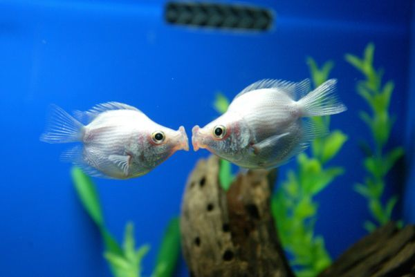 "A pair of tropical ""kissing fish"" kiss at a pet store in Shanghai February 14, 2006"