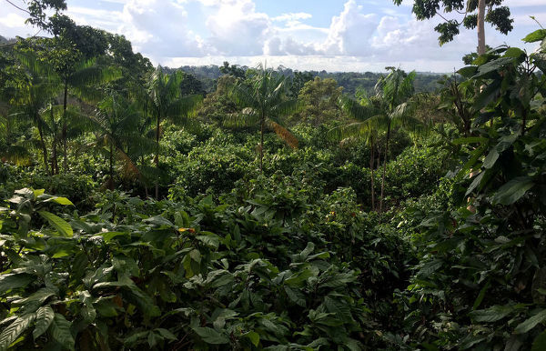 A view of a sustainable cocoa plantation in a farm in Medicilandia
