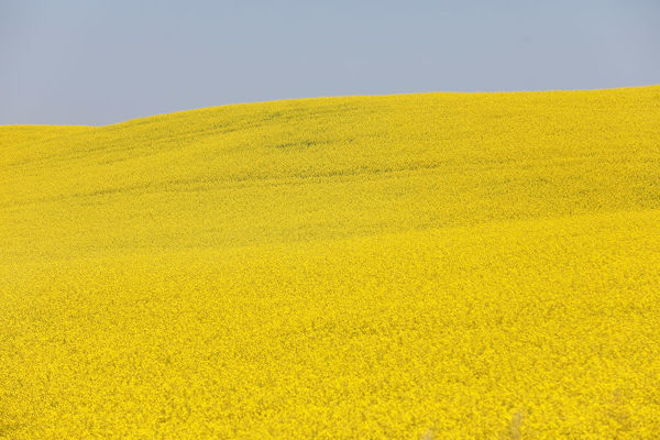 Western Canadian canola fields are seen in full bloom before they will be harvested later this summer in rural Alberta, Canada July 23, 2019. REUTERS/Todd Korol - RC1BFC4607F0