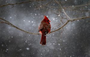 Northern Cardinal Bird sits on a New York City tree branch in falling snow